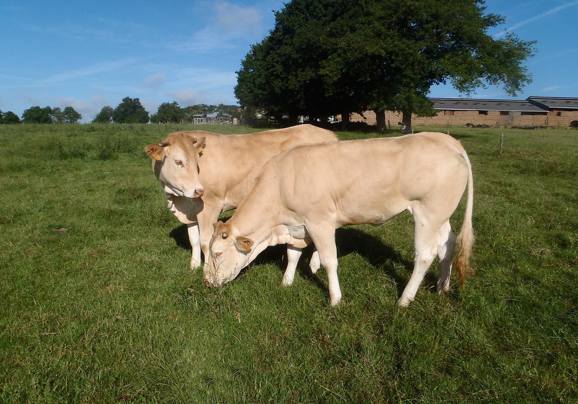 Bovins ruminants nutrition