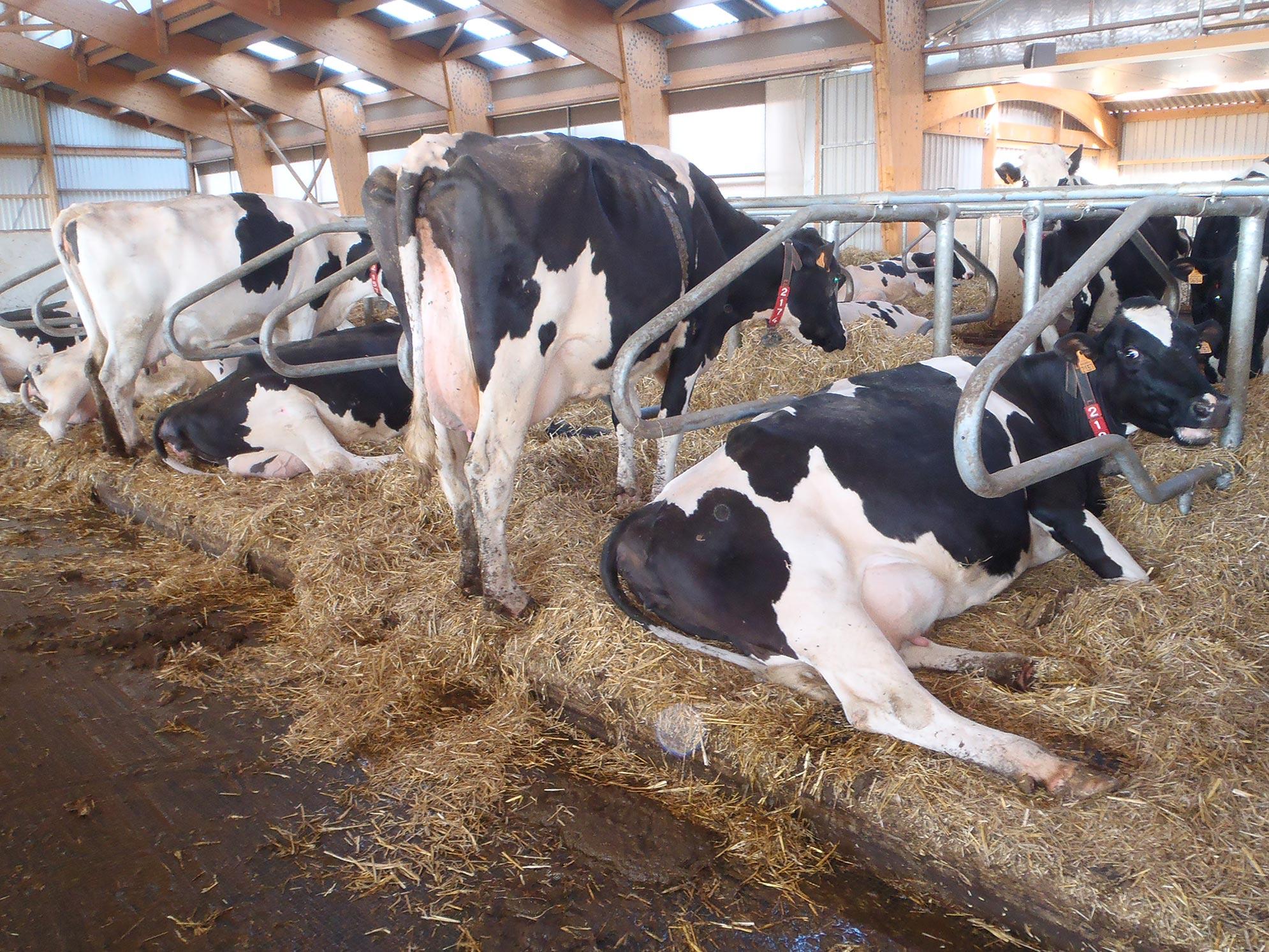 Vaches en logettes